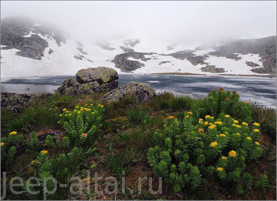 Лекарственные травы и растения алтая 4