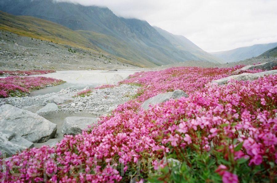 Лекарственные травы и растения алтая 6