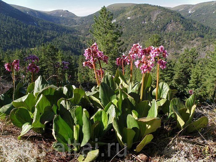 Лекарственные травы и растения алтая 7
